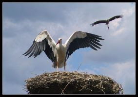Stork in Nest by kanes