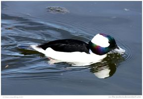 DUCK Bufflehead by In-the-picture