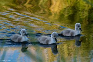 Not so ugly ducklings by JS2010
