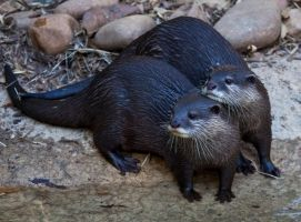 Otters by deseonocturno