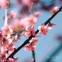Prunus II by WouterPera