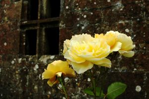 Stonewall Roses by EarthHart