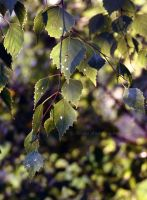 leaves in golden hour by Tiroko