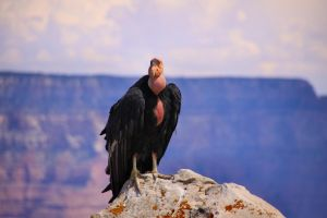California Condor 2 by Caloxort