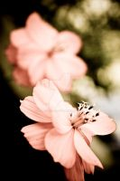 A Touch of Pink by StarPhoto