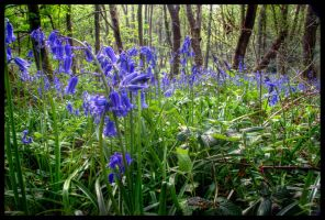 Bluebell Wood by Megglles