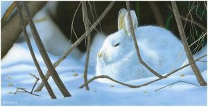 Snowshoe Hare by markstewart
