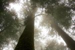Old Growth in the Fog by dkwynia