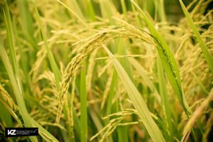 Golden Paddy 01 by kuriee