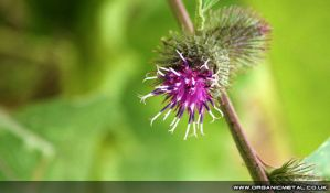 Thistle Bud by Bomu