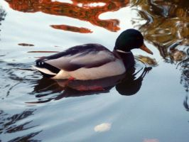 Mallard Duck Stock by OneLifeStock
