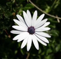 newer white flowers 01 by iscriptikus