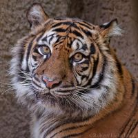 Sumatran Tiger 0081 by robbobert