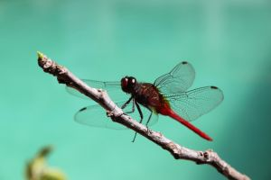 Dragonfly by RixResources