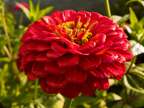 Red Zinnia by Lucas246