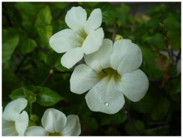 White flowers by Catz77