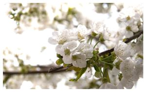 Blossom on the Cherry Tree by xPerigryn