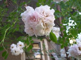 roses 2 by duello