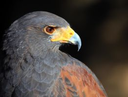 Close up Harris's Hawk 2260 by mammothhunter