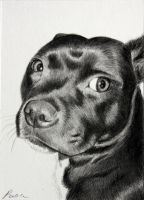Staffordshire Bull Terrier ACEO by skippypoof