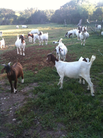 GOATS. by xChained