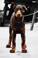 Doberman Puppy by kingstonrey