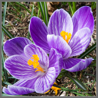 Two of Crocus by Mogrianne