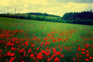 poppy field II stock by koko-stock