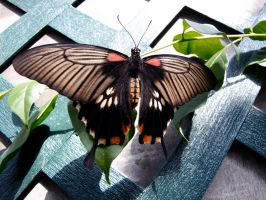 Swallow Tail 2 by Rourke-1