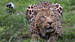 Nice Leopard by raoul4life
