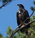 Juvenile Bald Eagle by geeegnome