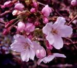CHERRY BLOSSOMS 44 by GeaAusten