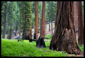 Sequoia 3 by Belgarion115