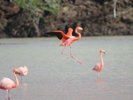 Galapagos Greater Flamingo by Serendith