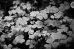 Wood sorrel by BiodiVersitY