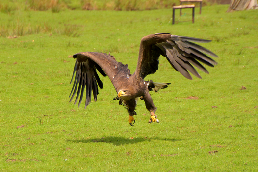 white-tailed eagle by Quiet-bliss