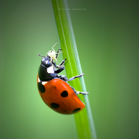Ladybird In Action by DREAMCA7CHER