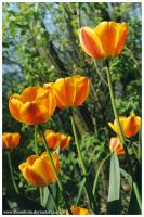 Tulips I by kissesfrom
