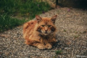 Fluffy ginger cat by margueta