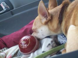 Chihuahua's On the Ball by Ch3rriCh3rry