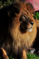 African Lion 6445 by robbobert
