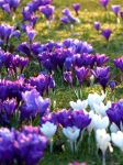 Setting Sun on Crocuses by Yoruichi-Takashi