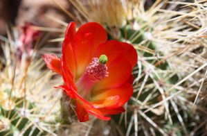 Colorful Cactus Bloom by BeautifulDragon322