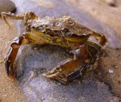 Crab by Refract