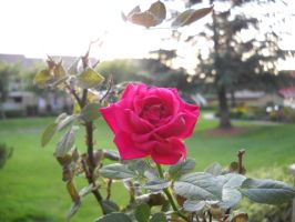 A Rose And Haze by Mindslave24-7