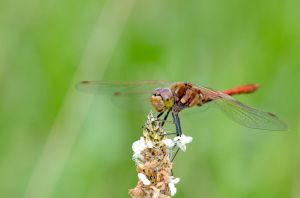 Smiling dragonfly by Lydiie