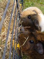 guinea pig 3 by MLS-photography