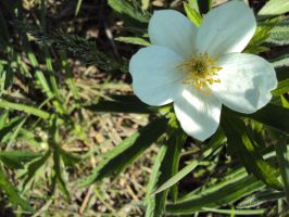 'Tis a white flower by highlyimprobable