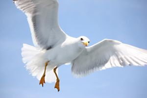 Seagull by XMenouX