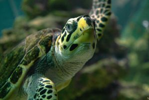 Turtle by PenguinPhotography